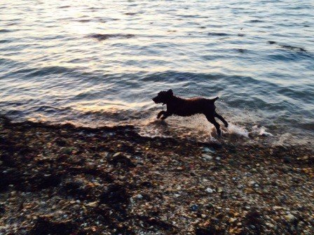 Charlie dog chasing stones in the sea at Gurnard beach, Isle of Wight